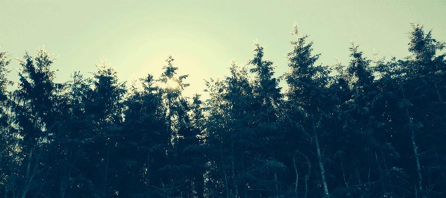 light behind tall trees